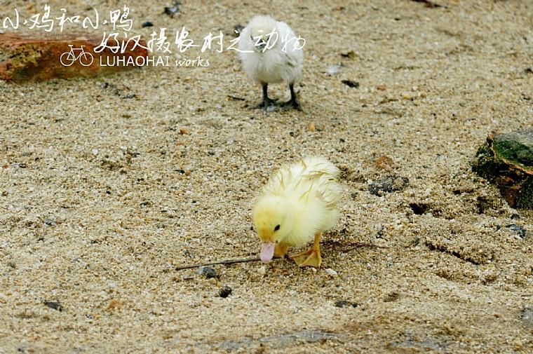 [好汉摄农村之动物]小鸡和小鸭